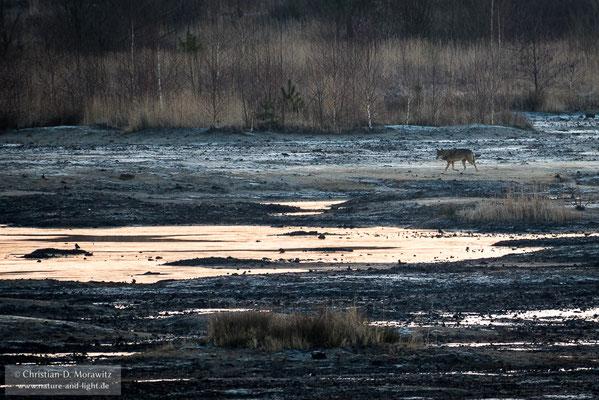 Ein Wolf durchquert sein Revier