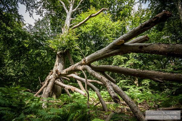 Buche mit Windbruch im Wald