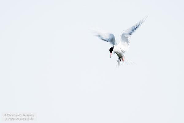 Fluss-Seeschwalbe im Jagdflug