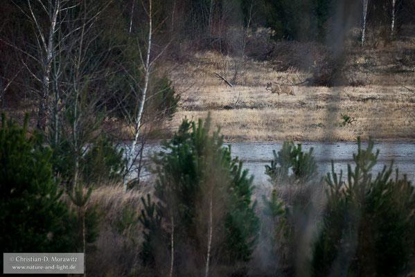 Ein Wolf durchstreift die Landschaft