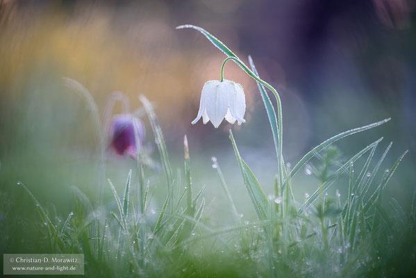 Weiße Schachbrettblume
