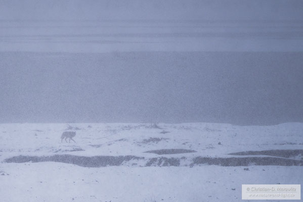 Wolf im Schneetreiben