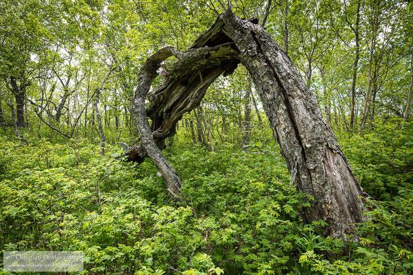 Steinbirkenwald im Kronotsky Reservat