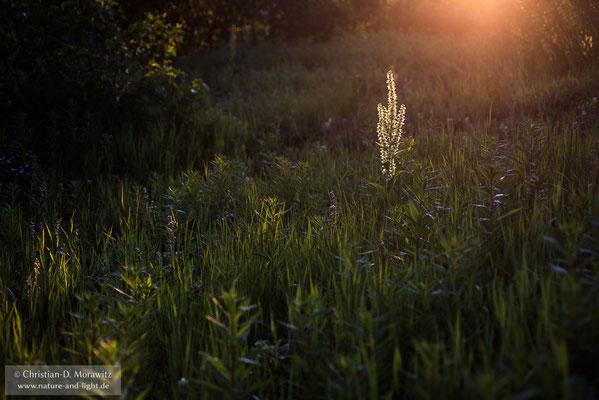 Blühender Germer im Abendlicht