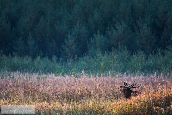 Röhrender Hirsch im ersten Morgenlicht