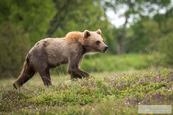 Junger Kamtschatka-Braunbär auf der Tundra