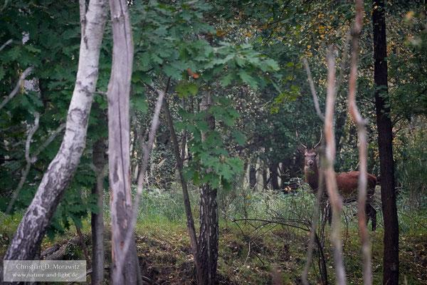 Rothirsch in der Dämmerung im Wald mit 400 mm, f/5,6, 1/250 Sek. und ISO 12800
