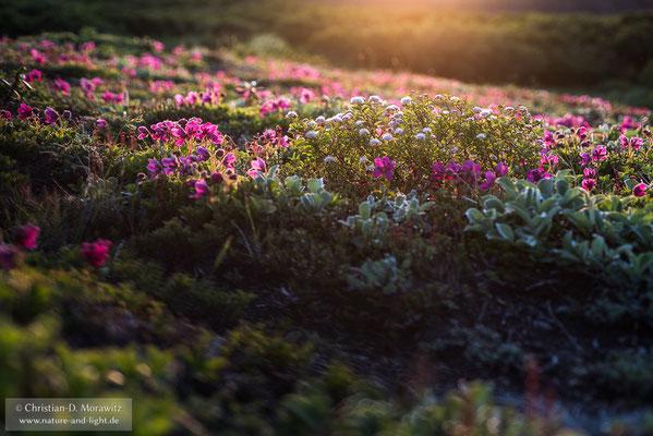 Blühende Tundra im Abendlicht