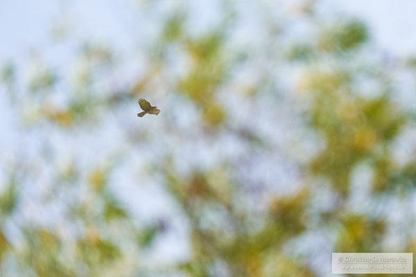 Mäusebussard im Flug hinter einem Baum mit Serienbildmodus, AF-C, 400 mm, f/5,6, 1/1600 Sek. und ISO 320