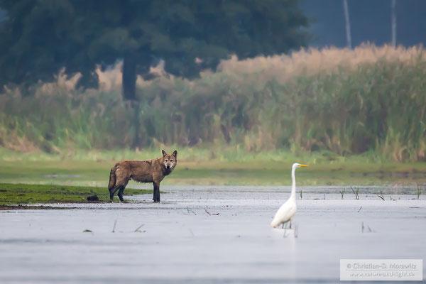 Wilder Wolf in Deutschland, aufgenommen mit einem Tarnanzug und natürlicher Tarnung