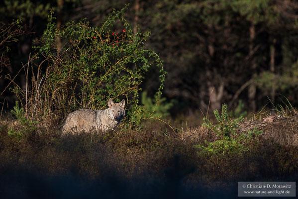 Wolf im Morgenlicht