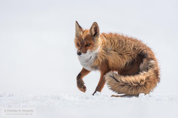 Rotfuchs in Südkamtschatka