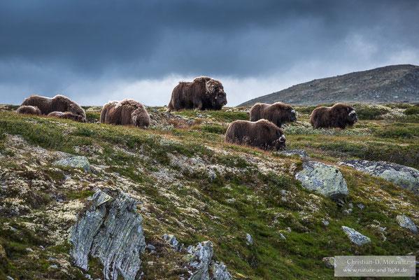 Herde Moschusochsen auf der Tundra