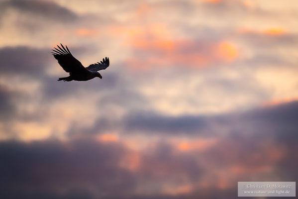 Seeadler am Abend