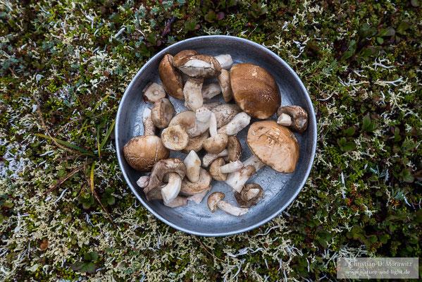 Auf der Tundra findet man immer wieder Birkenpilze, welche eine leckere Malzeit ergeben