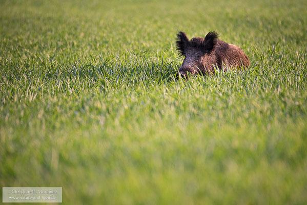 Wildschwein im Morgenlicht