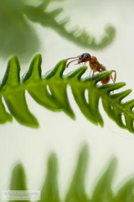 Ameise auf Adlerfarn