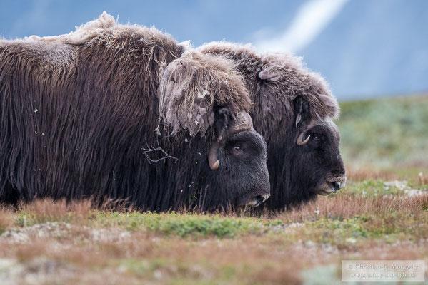 Die beiden ältesten Tiere einer Herde