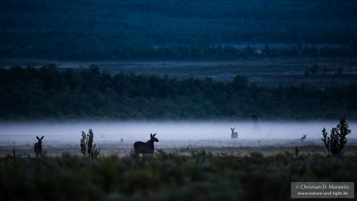 Elche in einem Sumpf im Morgennebel