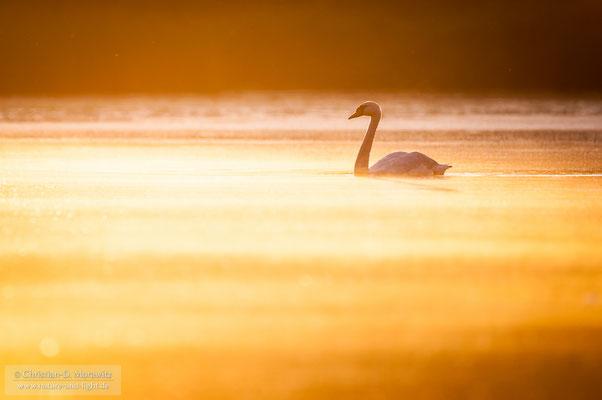 Höckerschwan im Morgenlicht