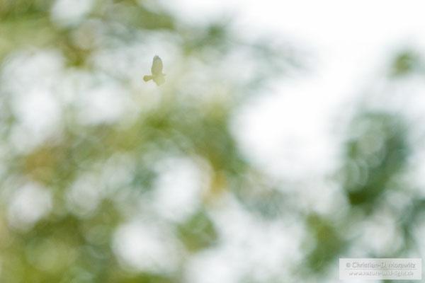 Mäusebussard im Flug hinter einem Baum mit Serienbildmodus und AF-C, 800 mm, f/11, 1/1600 Sek. und ISO 5000