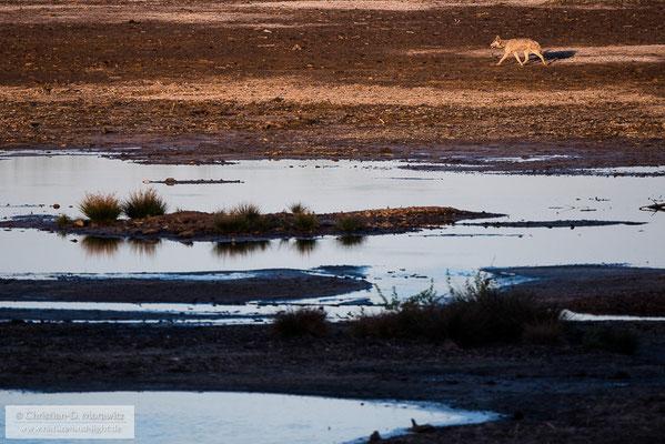 Wolf im Abendlicht