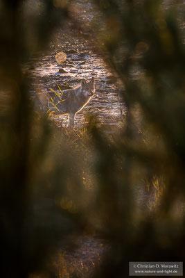 Ein Wolfswelpe im Winterfell