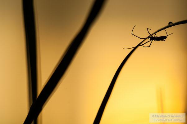 Spinnensilhouette