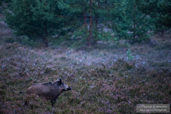 Wildschwein in der Heide