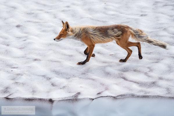 Rotfuchs auf einem Schneefeld