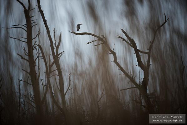 Graureiher in der Morgendämmerung im Bruchwald