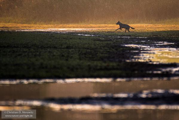 Wolf im ersten Morgenlicht