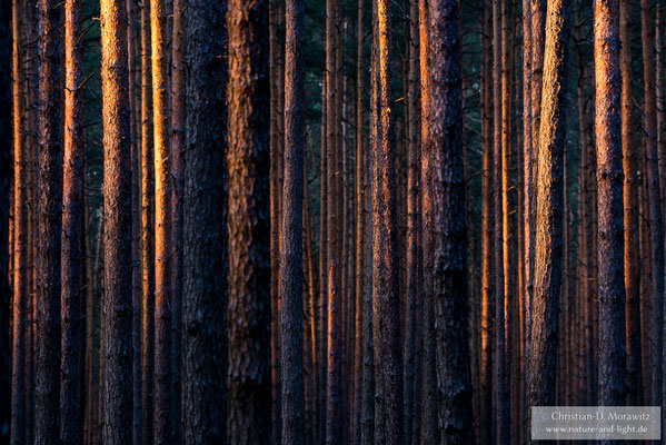 Sonnenuntergang im Kiefernwald