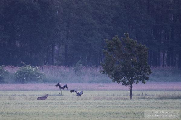 Wolf und Kraniche in der Morgendämmerung