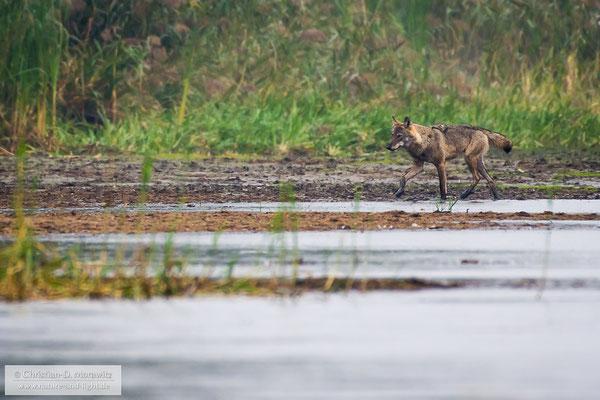 Wolfsfähe am Teich
