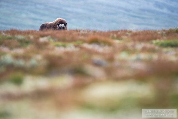 Junger Moschusochse auf der Tundra