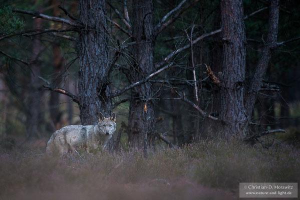 Wolfswelpe im Wald
