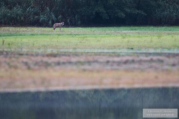 Wolf am Teichufer