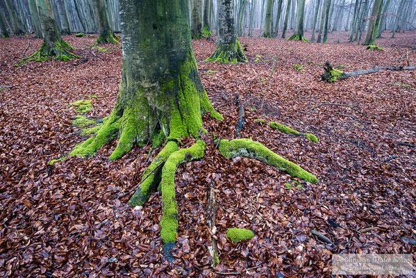 Alter Buchenwald im Nationalpark Jasmund