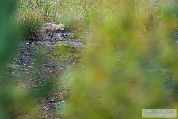Ein Wolfswelpe erkundet seine Umgebung
