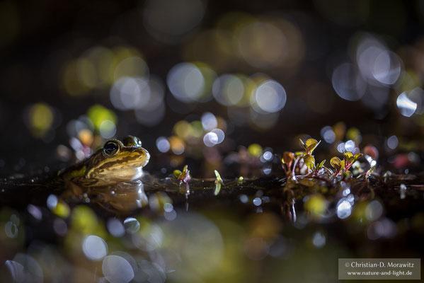 Teichfrosch nachts an einem Tümpel