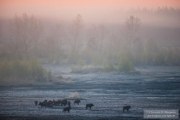Wildschweinrotte im Morgennebel