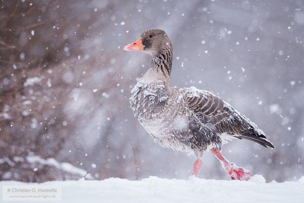 Graugans im Schneegestöber