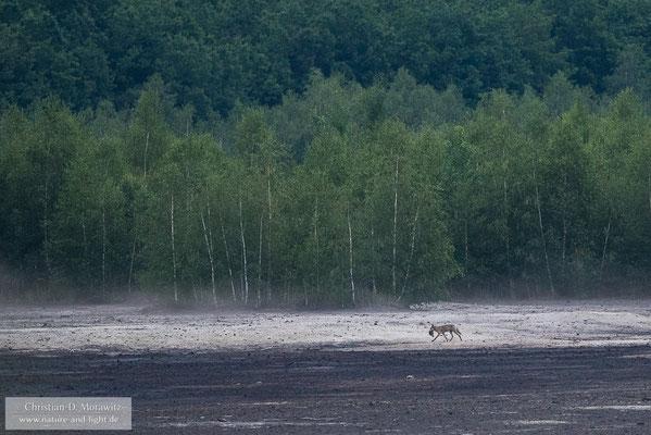 Wolf mit erbeutetem Frischling