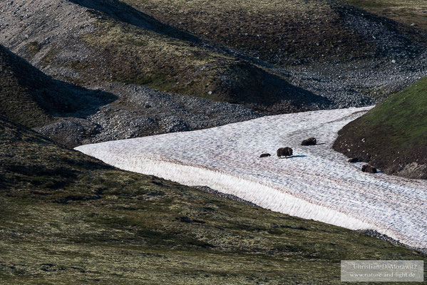 Eine Herde Moschusochsen sucht Abkühlung auf einem alten Schneefeld