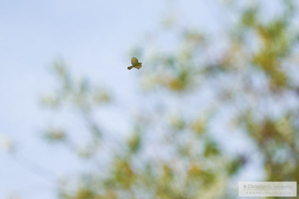 Mäusebussard im Flug hinter einem Baum mit Serienbildmodus, AF-C, 400 mm, f/5,6, 1/1600 Sek. und ISO 250