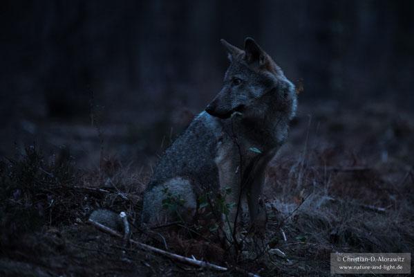 Wolf in der Morgendämmerung