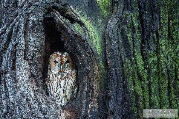 Waldkauz in seiner Höhle