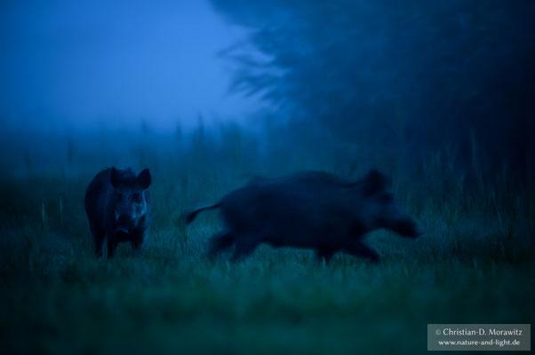 Wildschweine am Abend