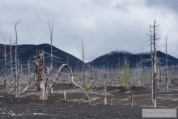Der Tote Wald entstand während des Ausbruchs 1975/1976, als die meterhohe Asche einen ganzen Wald ersticken ließ
